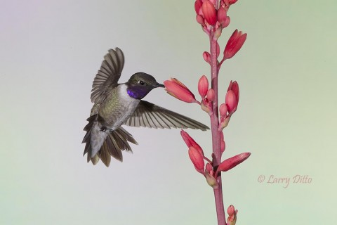 male black-chinned hummingbird feeding at yucca flowers.