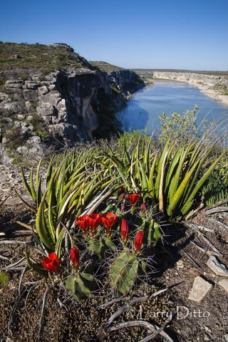 Claret Cup Cactus above the Pecos River, Texas
