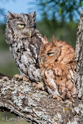 Eastern Screech Owl; both color morphs.