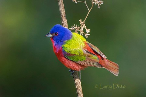 male Painted Bunting on weed