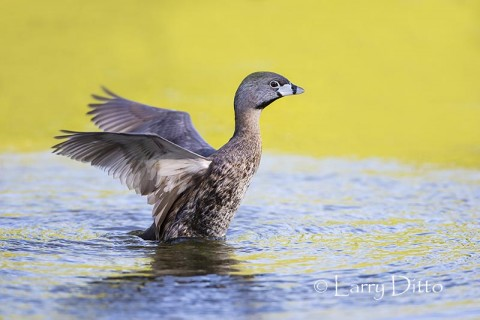 Pied-billed Grebe stretching
