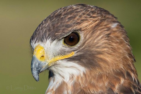 serious face of the red-tailed hawk