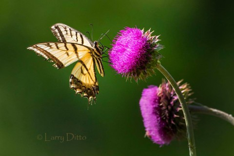 Tiger Swallowtail on thistle bloom