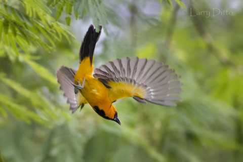 Altamira Oriole adult in flight, s. Texas