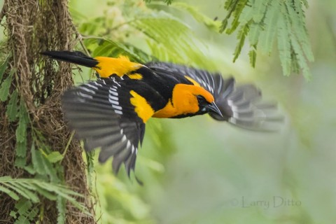 Altamira Oriole leaving nest, s. Texas; tepeguaje tree.