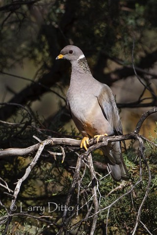Band-tailed Pigeon in juniper