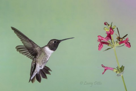 Black-chinned Hummingbird, male feeding at salvia flowers, Davis Mountains, Texas