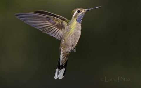 Blue-throated Hummingbird in flight, Az.