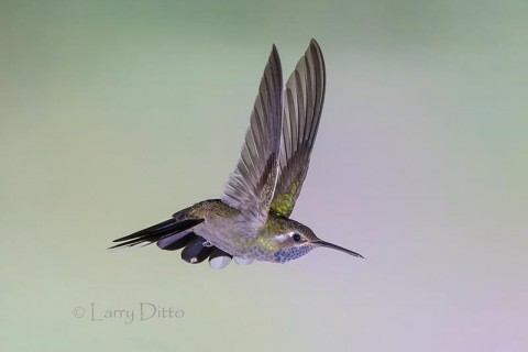 Blue-throated Hummingbird in Arizona