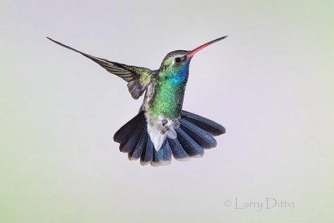 Broad-billed Hummingbird, male in flight, Az.