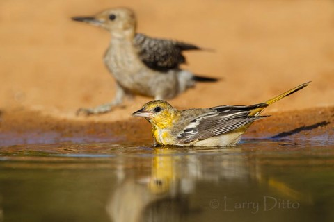 Female Bullock's oriole bathing while a young golden-fronted woodpecker waits its turn in the pond.