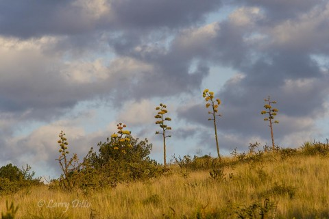 Agaves in bloom, Davis Mountains, Tx