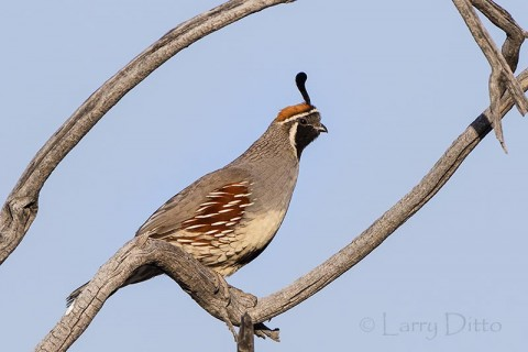 Gambel's Quail male perched in dead willow