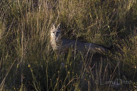 Gray Fox in grassland, Davis Mts, Texas