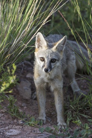 Gray Fox, Davis Mountains