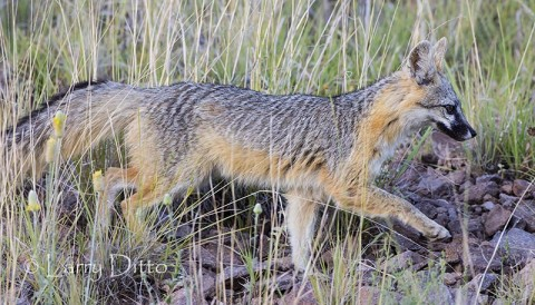 Gray Fox strolling across the hillside behind the house where we stayed.