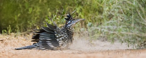 Greater Roadrunner taking dust bath