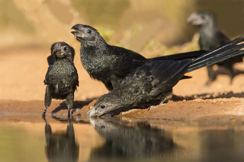 Groove-billed Ani drinking