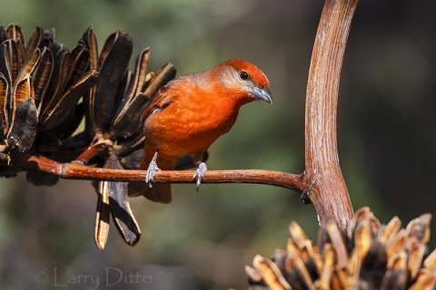Hepatic Tanager on century plant, Arizona
