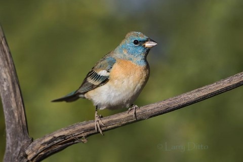 Young male Lazuli Bunting, Arizona