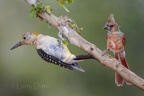 Molting golden-fronted woodpecker and cardinal sitting in shade on a 102 degree afternoon by the ranch pond.