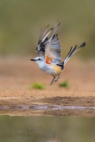 Scissor-tailed Flycatcher flushing from ranch pond, s. Texas.