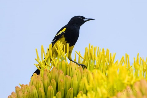 Scott's Oriole, male on agave bloom.