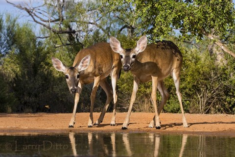 White-tailed Deer, does drinking at s. Texas photography ranch (Santa Clara).