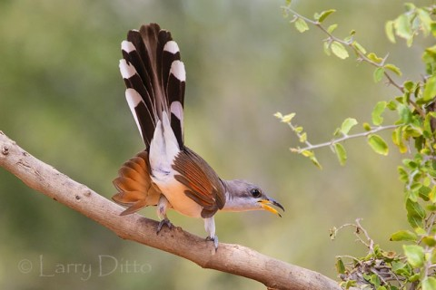 Yellow-billed Cuckoo landing in granjeno bush, s. Texas