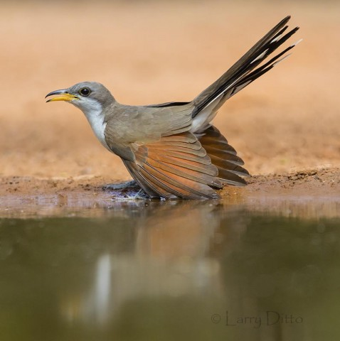 Yellow-billed Cuckoo drinking at ranch pond, s. Texas