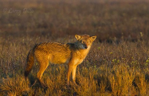 Coyote in salt marsh at Aransas NWR from Kevin's boat.