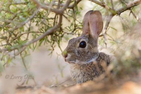 Cottontail Rabbit in the shade.