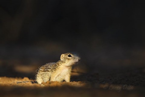 Ground Squirrel slipping out of the shadows to grab a drink.