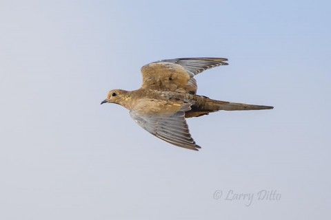 Molting mourning dove at top speed.