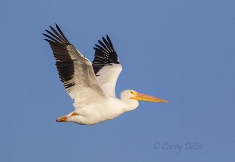 White-pelican in flight
