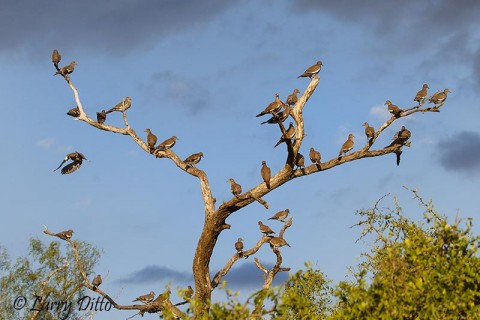 White-winged Doves staging at the pond before coming to drink.
