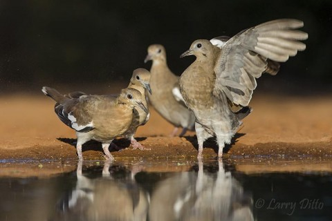 Nervous white-winged doves gathering for their last drink of the day.