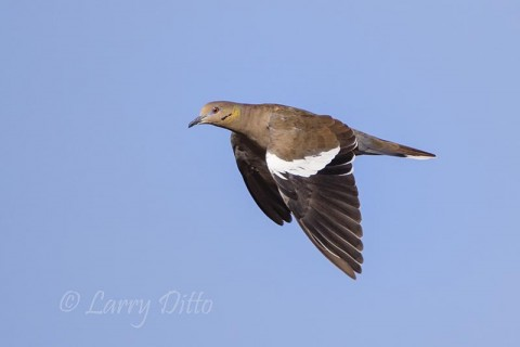 Beautiful adult white-winged dove.