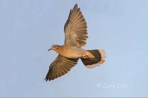 Photo taken with dove behind a plant, but the lens held focus.