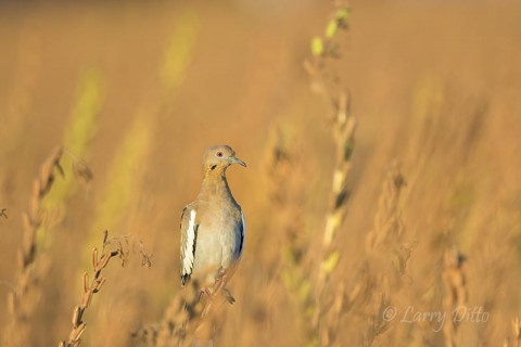 Perched white-wing on a beautiful morning.