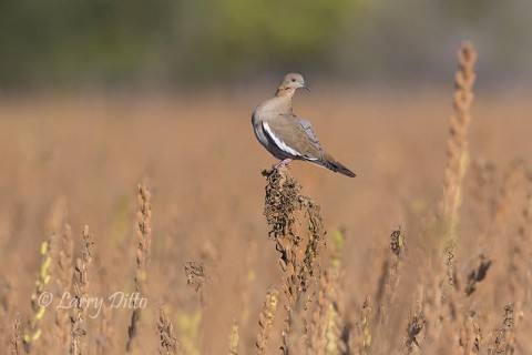 White-winged Dove wondering what just popped up among the crop plants.