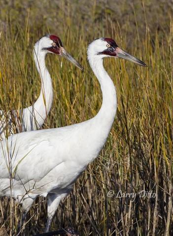 Whooping Crane pair wading in salt marsh