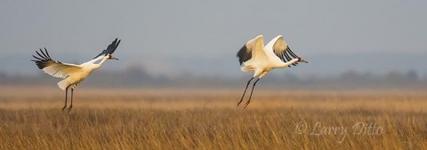 Whooping Cranes flying from salt marsh on Aransas National Wildlife Refuge.
