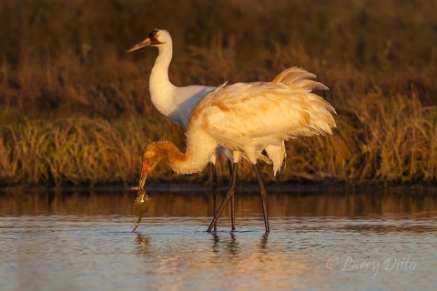 Adult and young (rusty head) whooping crane with a blue crab.