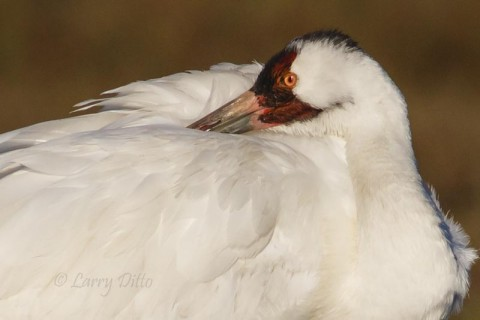 Whooping Crane napping after early morning feeding foray