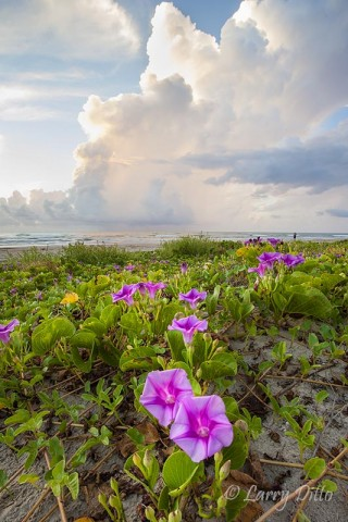 Beach Morning Glory on South Padre Island at sunrise