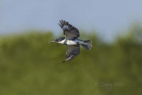 Belted Kingfisher flying across the South Padre Island Birding Center marsh.