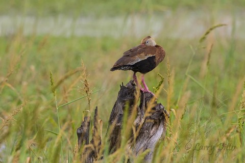 Black-bellied Whistling Duck resting on stump