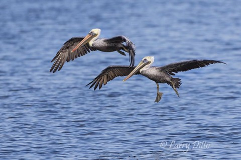 Brown Pelicans on the wing