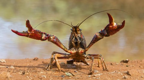 Defensive crayfish (crawdad)